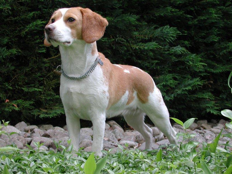 racine vet, breed information, the goberian