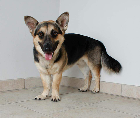 racine vet, breed information, corgi shepherd mix