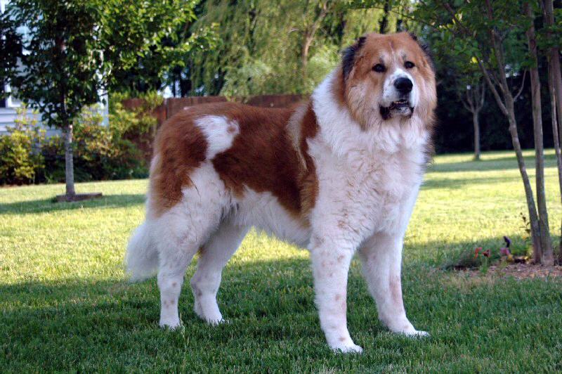 prairie side veterinary hospital, breed information, caucasian ovcharka breed information