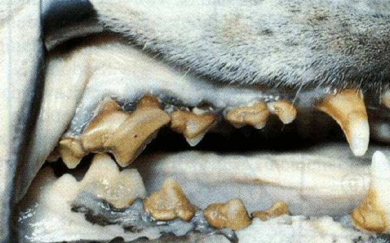 pet tartar, pet dental services in racine, pet periodontal disease